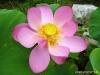 Lotus-Blüte