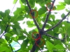 Zikaden am Baum